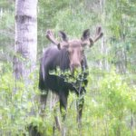 Isle Royale Moose posing