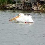 Wildlife - White Pelican