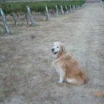 Chardonnay at Misty Glen