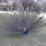 los pavo reales