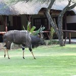 Njala bull roaming the lawns of the Lodge