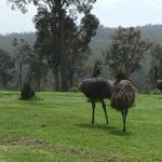 Family of emus visit