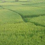 looking at rice paddies