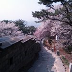 cherry blossoms along the fortress walls