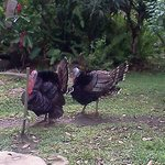 The Farm Inn-pet turkeys