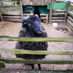 Дружелюбная овечка