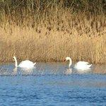 Wild swans.  Who knew!?!?