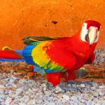 Parrot in Cayena