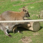 Uo close with the wallabies