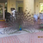 one of serveral peacocks living at Velas