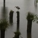 Resident Heron looking for a meal