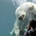 Polar Bears using the window to propel itself in the water