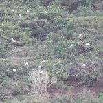Camera zoom view of Red Footed Booby's