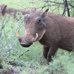 Warthogs on the hotel organized safari drive