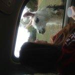 love the llamas