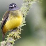 Ornate Flycatcher (Myiotriccus ornatus)