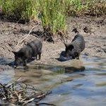 Wild baby pigs
