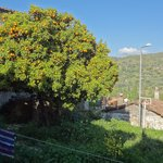 The orange tree in the front garden