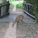 The bushbuck that roams the grounds