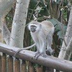 Beware the naughty monkeys