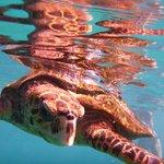 tortue lors d'une plongée