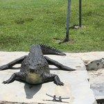 Black River......crocodile getting a tan.........
