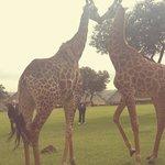Giraffe Reception