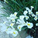Beautiful white irises on the terrace