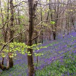 The field of bluebells--the picture doesn't do it justice!