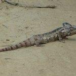 Un autre caméléon plus gros (50cm)