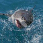 Great White in Gainsbaai