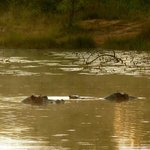 hippos in the lake