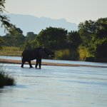 Elephant having a drink from Kapamba River