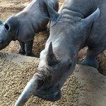 rhino at Ants nest
