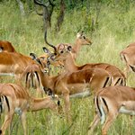 impala on bush ride