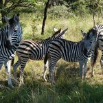 zebra on bush ride