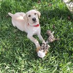 B&B resident puppy Diesel at 3 months... He's a labrador/retriever and loves playing fetch