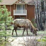 Elk out front.