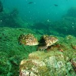 White Reef Stone fish