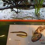 water eel