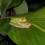 Gaudy tree frogs caught in action