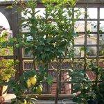 Lemon tree on the garden terrace