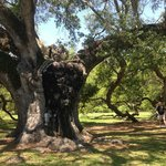 800+ year old oak tree in park we visited
