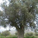 Olivo de 300 años