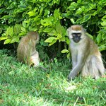 Vervet monkeys in the garden