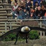 Le bal des faucons, mais ici c'est un vautour