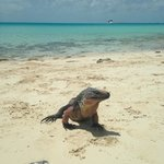 Iguana posing