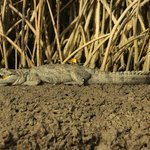 Crocodile from canoe trip
