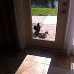 The ducks coming to are patio door for lunch!!!!!