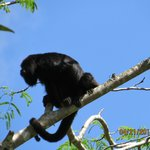 Howler monkey in the trees above hotel entrance